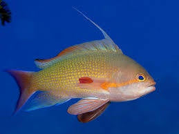 Green Anthias Hi Fin