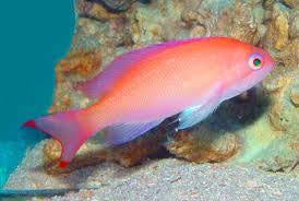 Truncatus Anthias