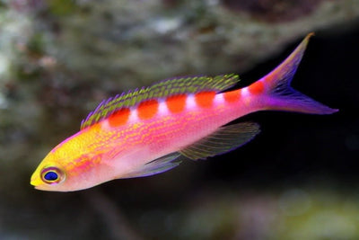 Tiger Queen Anthias