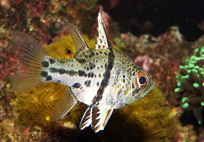 Orbiculate Cardinalfish