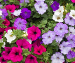 Annual: Petunia, Multiflora, Colorama #118