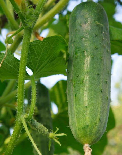 Cucumber: H-19, Little Leaf, Organic Seed #159