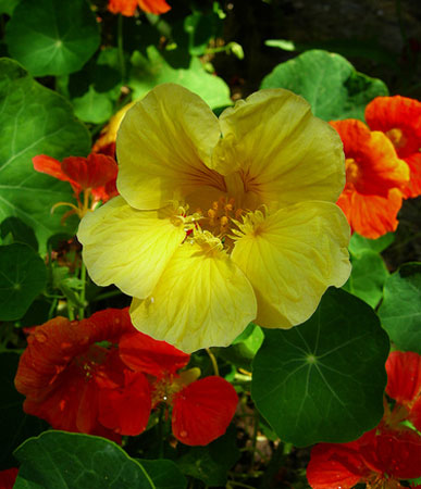 BIG PAK: Annual: Nasturtium, Gleam Mixed #174