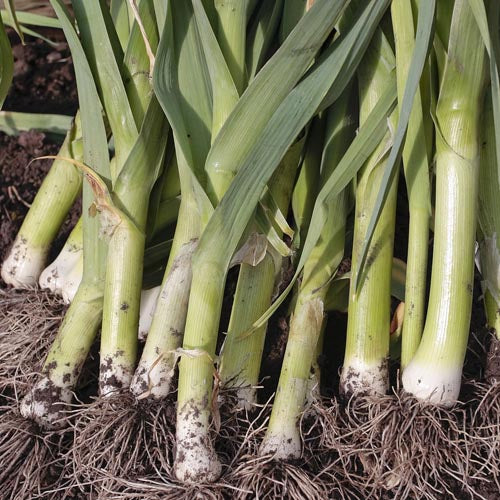 Leeks, Summer: King Richard, Organic Seed #189