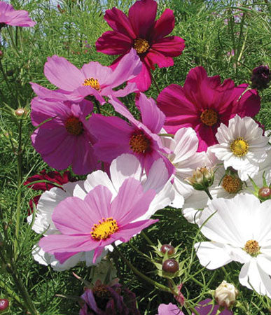 Annual: Cosmos, Sensation Mixed #197