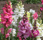 Annual: Snapdragon: Tall Maximia Mixed Colors #308