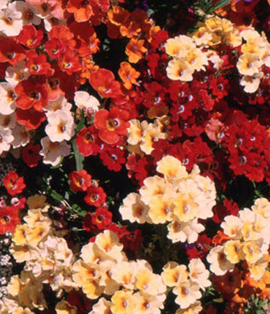 Annual: Nemesia, Carnival Mix #38