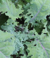 Kale: Red Russian #392