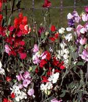 Annual: Sweet Pea, Knee High Mix #398