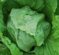 Lettuce, Head: Great Lakes 118 #462