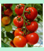 Tomato, Tropic #473, Greenhouse