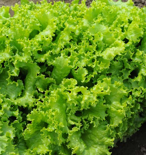 Lettuce, Leaf: Salad Bowl #532