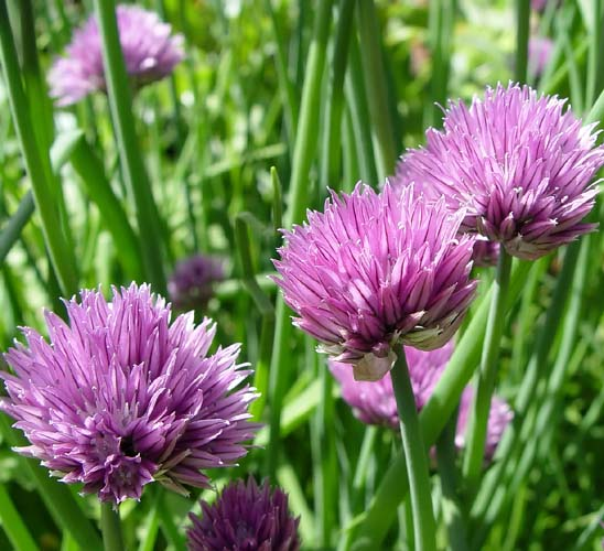 Herb: Chives #55