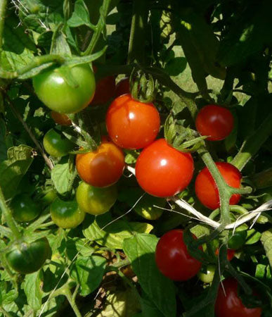 Tomato: Sweetie #463, Greenhouse in Alaska