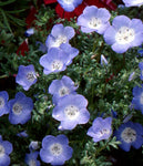 Annual: Nemophila, Baby Blue Eyes #58