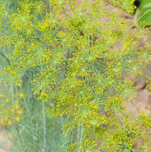 Herb: Dill, Bouquet #75