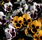 Annual: Pansy, Swiss Giant Mix (Perennial) #78