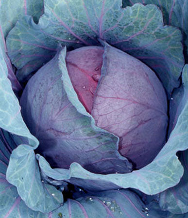 Cabbage: Red Express #100
