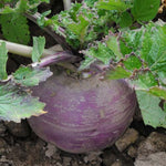 Turnip: Purple Top White Globe #513