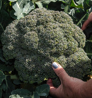 Broccoli: Green King Hybrid #82