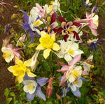 Perennial: Columbine McKana's Giant Mix #245