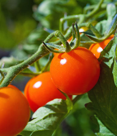 Tomato: Early Tanana, Organic Seed #539, Outdoor/Greenhouse