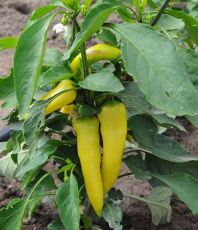 Peppers: Hungarian Yellow Wax # 83