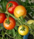 Tomato: Polar Star, Organic Seed #593, Outdoor/Greenhouse