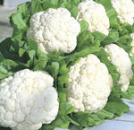 Cauliflower: Snow Crown Hybrid #282