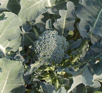 Broccoli: Green Sprouting Calabrese #42