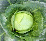 Cabbage: Golden Acre #152