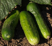Cucumbers: Morden Early #372