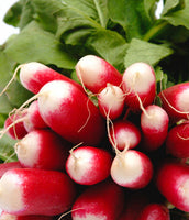 Radish: French Breakfast #173