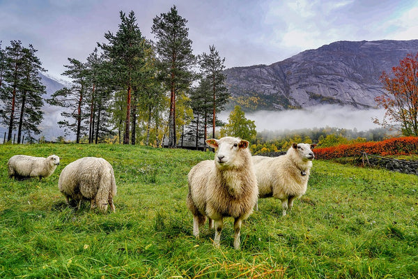 Norwegian Sheep, wool