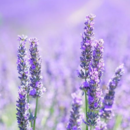 Ingredient Focus : Lavender