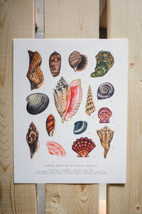Mollusks of North America 11x14 Chart