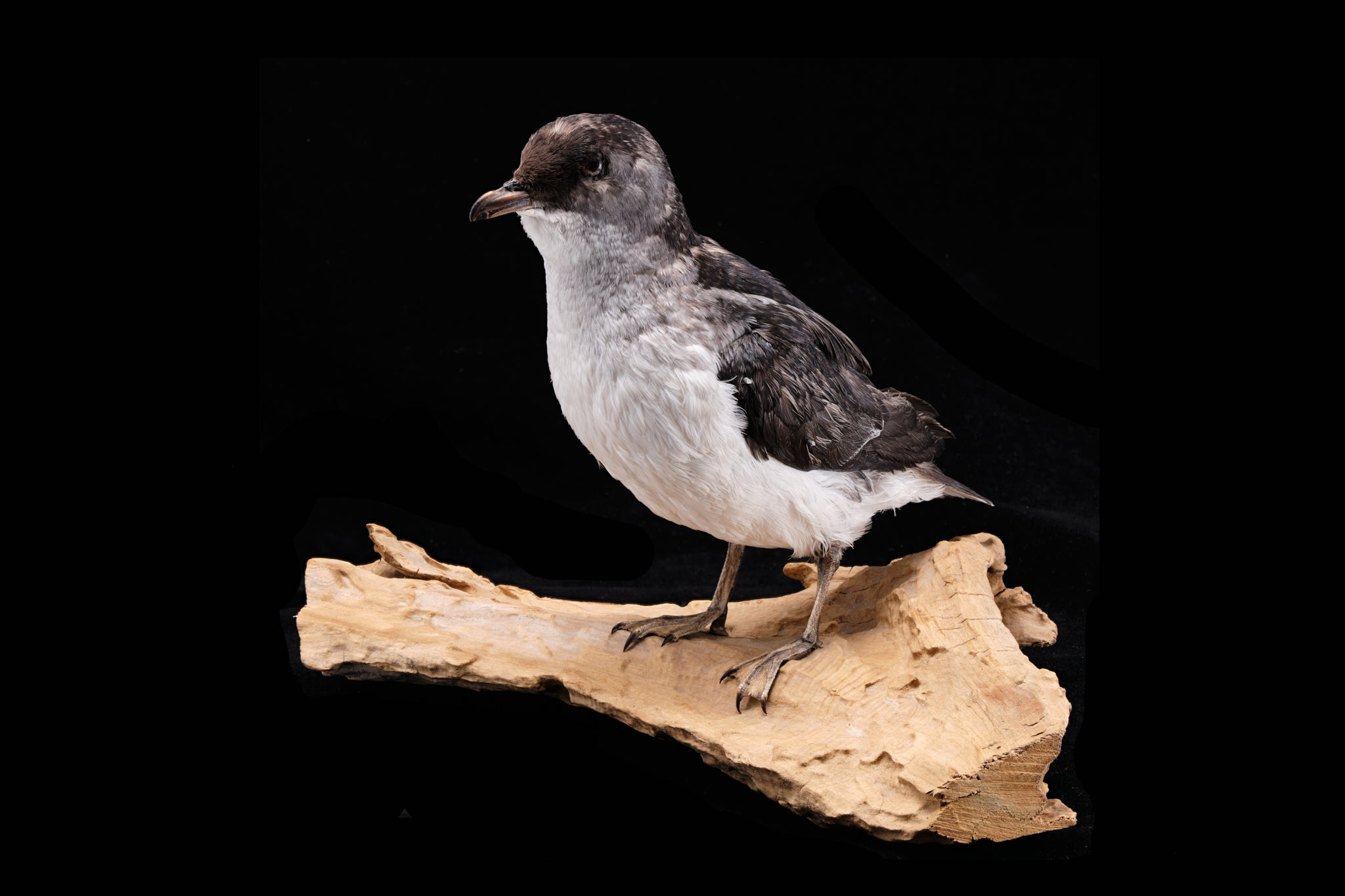 Taxidermied Diving Petrel Bird.