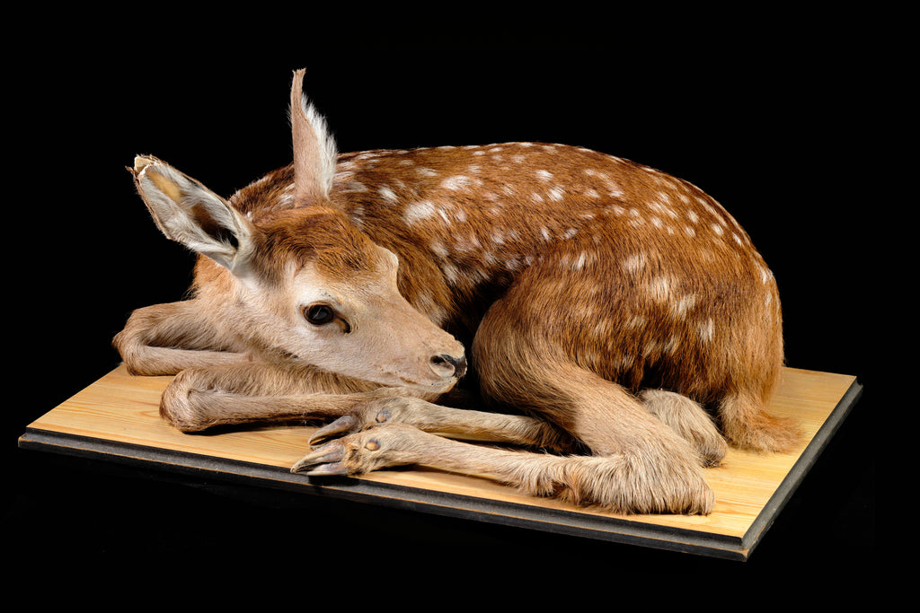 Mid Century Taxidermied Fawn.