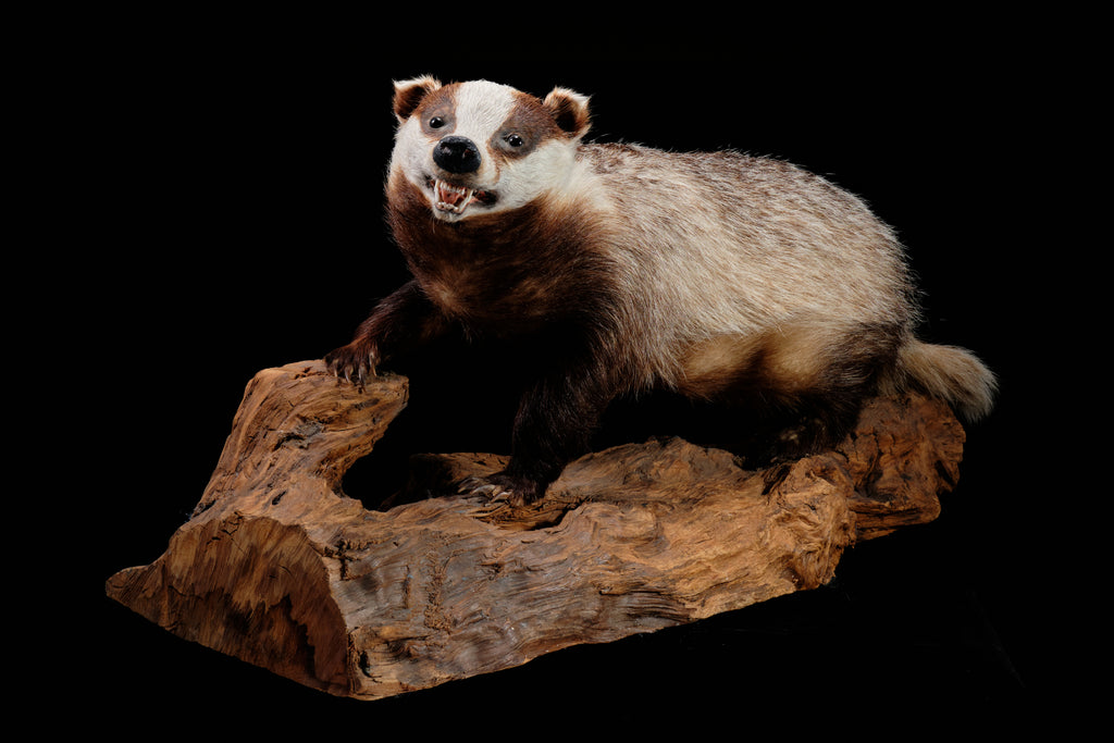 English Taxidermied Badger.