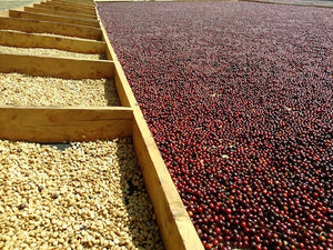 Raw Materials:  The Ins and Outs of Drying Coffee