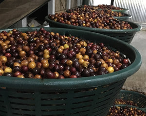 "Raw Materials: ""Resting"" Cherries Before Processing"