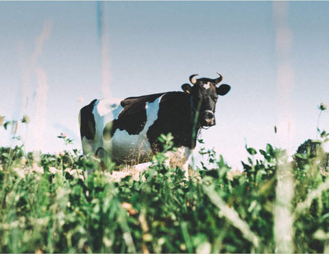 Dairy cow standing in pasture