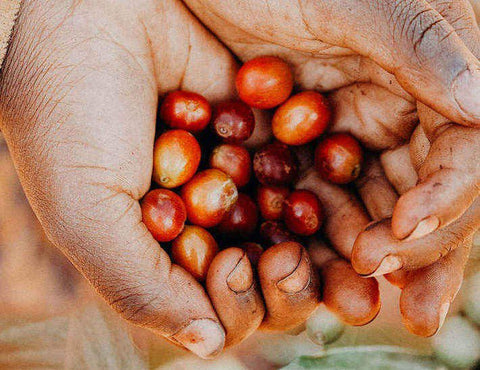 Hands holding coffee berries