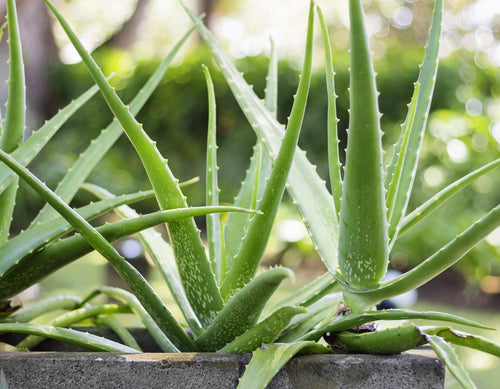 Featured ingredient Aloe vera