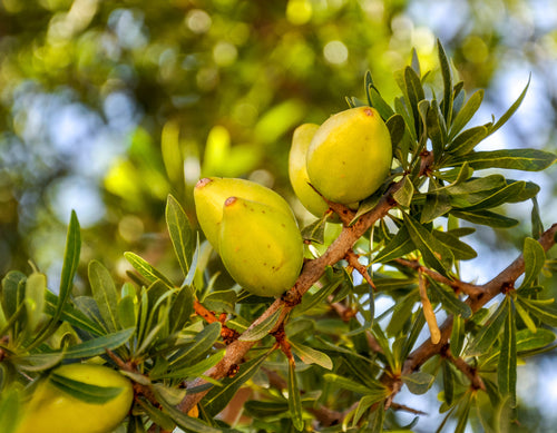 Featured ingredient Argan oil