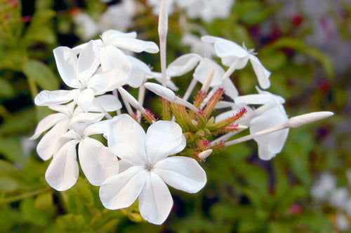 Featured ingredient Jasmine