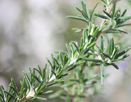 Featured ingredient Rosemary leaf extract