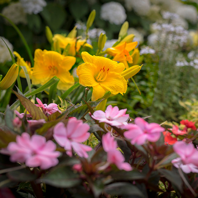 Stella de Oro Daylily Collection