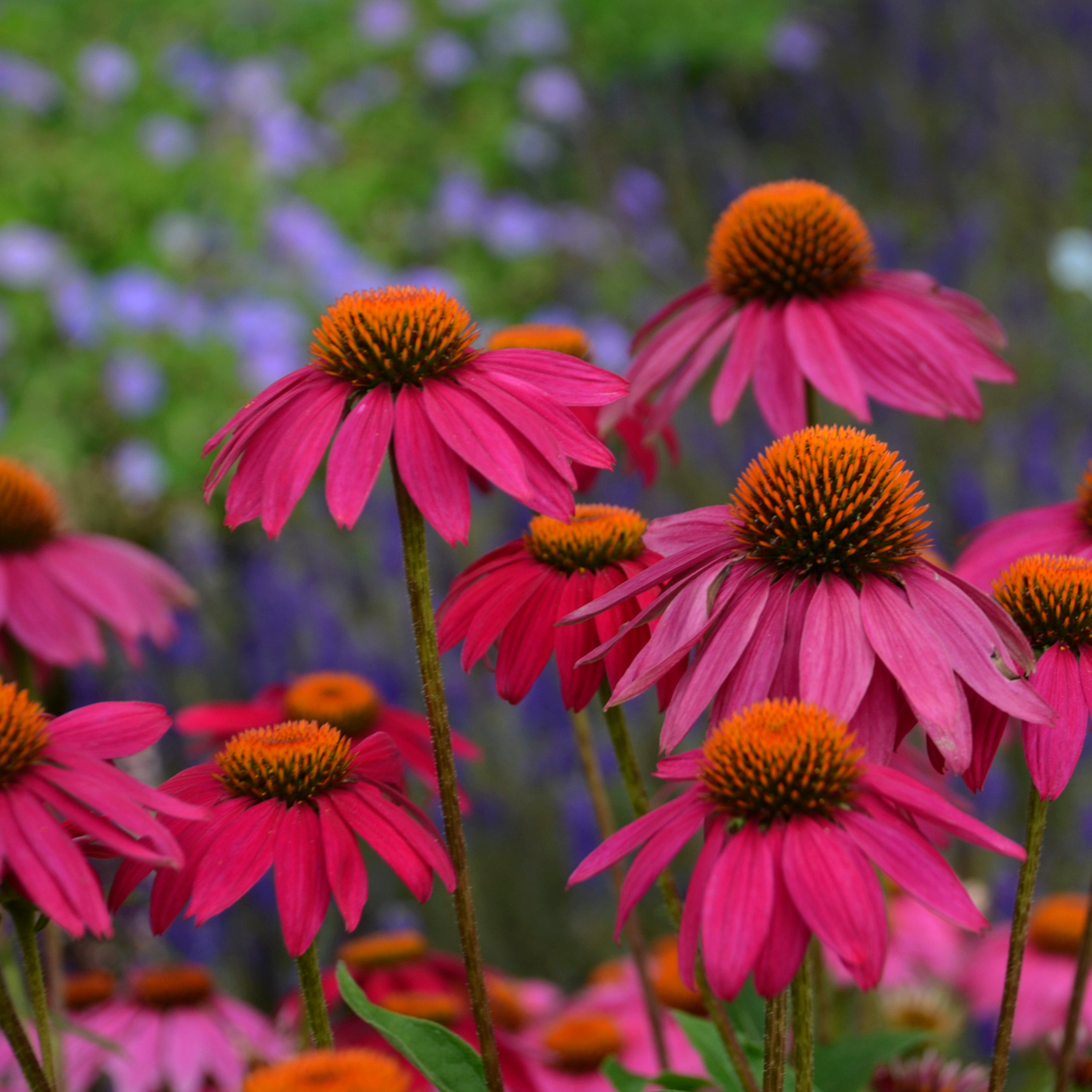 Coneflower Collection