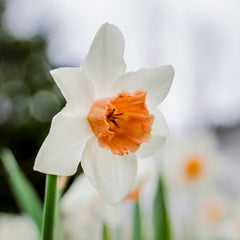 Accent Daffodil - 5 Pack